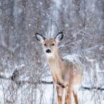 deer-in-snow
